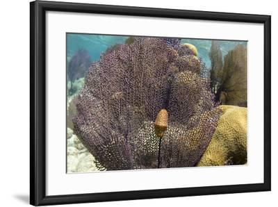 Flamingo Tongue on Common Sea Fan, Lighthouse Reef, Atoll, Belize-Pete Oxford-Framed Photographic Print