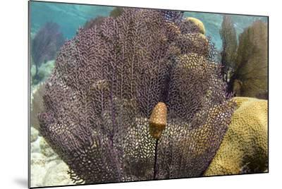 Flamingo Tongue on Common Sea Fan, Lighthouse Reef, Atoll, Belize-Pete Oxford-Mounted Photographic Print