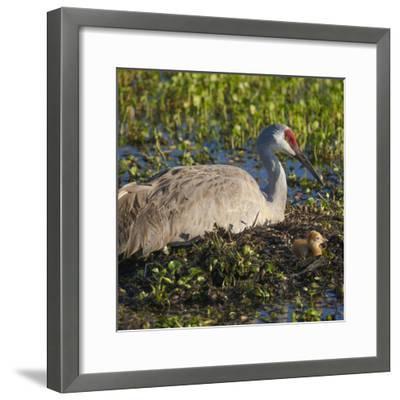 Just Hatched, Sandhill Crane on Nest with First Colt, Florida-Maresa Pryor-Framed Photographic Print