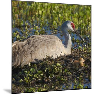 Just Hatched, Sandhill Crane on Nest with First Colt, Florida-Maresa Pryor-Mounted Photographic Print