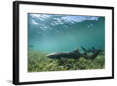 Nurse Shark, Marine Megafauna Research. Maralliance, Half Moon Caye, Lighthouse Reef, Atoll, Belize-Pete Oxford-Framed Photographic Print