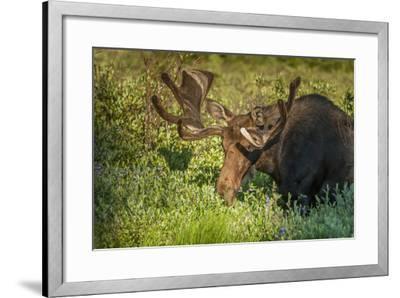 USA, Colorado, Brainerd Lake Recreation Area. Bull Moose with Velvet Antlers-Jaynes Gallery-Framed Photographic Print