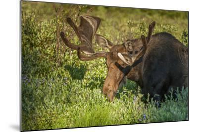 USA, Colorado, Brainerd Lake Recreation Area. Bull Moose with Velvet Antlers-Jaynes Gallery-Mounted Photographic Print
