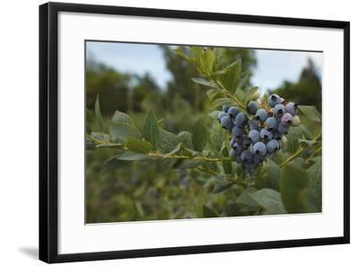 USA, Oregon, Blueberries on the Bush-Rick A^ Brown-Framed Photographic Print