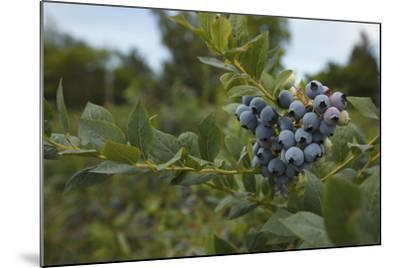 USA, Oregon, Blueberries on the Bush-Rick A^ Brown-Mounted Photographic Print