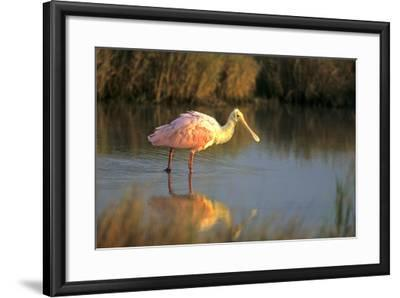Roseate Spoonbill, South Padre Island, Texas-Richard and Susan Day-Framed Photographic Print