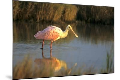 Roseate Spoonbill, South Padre Island, Texas-Richard and Susan Day-Mounted Photographic Print