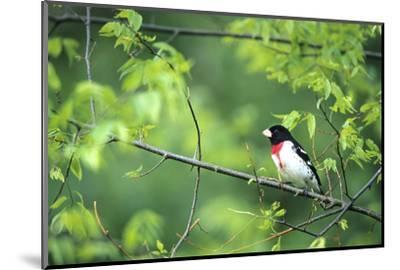 Rose-Breasted Grosbeak Male in Common Hackberry Tree, Marion, Il-Richard and Susan Day-Mounted Photographic Print