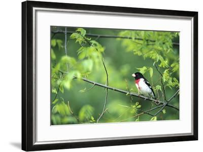 Rose-Breasted Grosbeak Male in Common Hackberry Tree, Marion, Il-Richard and Susan Day-Framed Photographic Print
