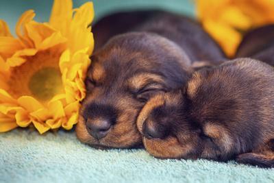Sleeping Doxen Puppies-Zandria Muench Beraldo-Framed Photographic Print