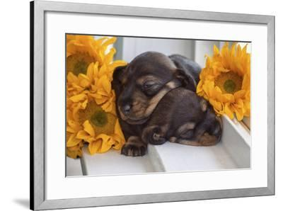 Sleeping Doxen Puppies-Zandria Muench Beraldo-Framed Photographic Print
