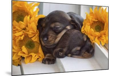 Sleeping Doxen Puppies-Zandria Muench Beraldo-Mounted Photographic Print