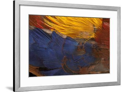 Golden Pheasant Feathers-Darrell Gulin-Framed Photographic Print
