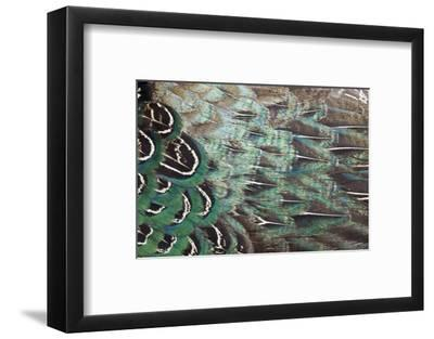 Melanistic Pheasant Feather Pattern-Darrell Gulin-Framed Photographic Print