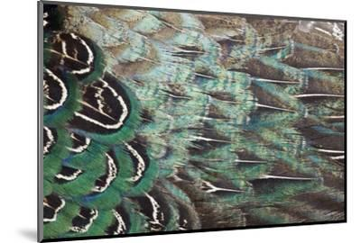 Melanistic Pheasant Feather Pattern-Darrell Gulin-Mounted Photographic Print