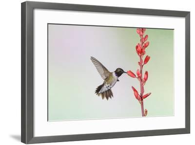 Black-Chinned Hummingbird Adult Male Feeding-Larry Ditto-Framed Photographic Print