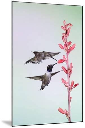 Black-Chinned Hummingbird Adult Male Feeding-Larry Ditto-Mounted Photographic Print