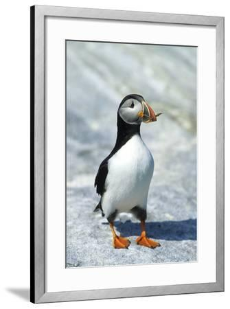 Atlantic Puffin with Nesting Material, Machias Seal Island, Canada-Richard and Susan Day-Framed Photographic Print