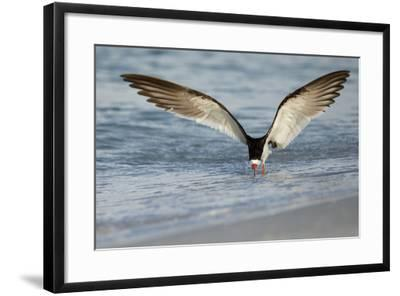 Black Skimmer Coming in for a Landing, Gulf of Mexico, Florida-Maresa Pryor-Framed Photographic Print