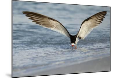 Black Skimmer Coming in for a Landing, Gulf of Mexico, Florida-Maresa Pryor-Mounted Photographic Print