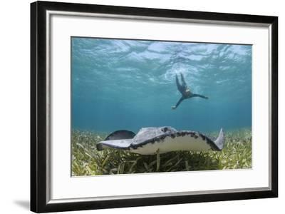 Caribbean Whiptail Ray and Snorkeler, Shark Ray Alley, Hol Chan Marine Reserve, Belize-Pete Oxford-Framed Photographic Print
