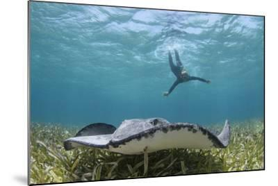 Caribbean Whiptail Ray and Snorkeler, Shark Ray Alley, Hol Chan Marine Reserve, Belize-Pete Oxford-Mounted Photographic Print