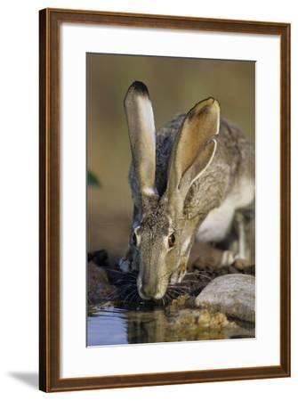 Black-Tailed Jack Rabbit Drinking at Water Starr County, Texas-Richard and Susan Day-Framed Photographic Print