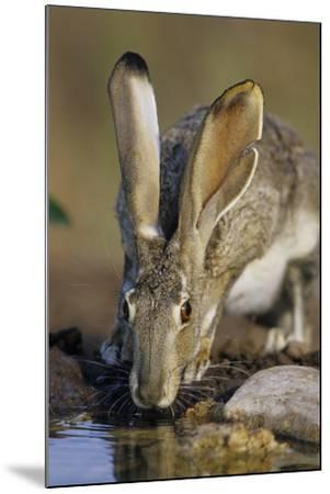 Black-Tailed Jack Rabbit Drinking at Water Starr County, Texas-Richard and Susan Day-Mounted Photographic Print