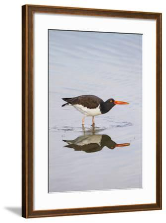 American Oystercatcher Drinking-Larry Ditto-Framed Photographic Print