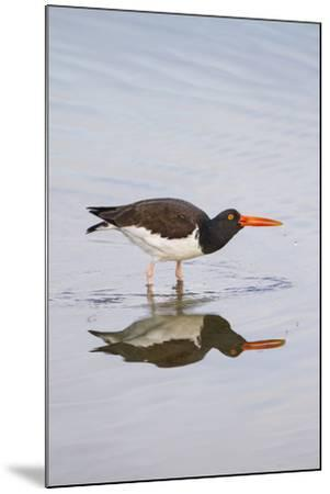 American Oystercatcher Drinking-Larry Ditto-Mounted Photographic Print