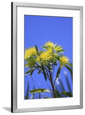A Bright Yellow Wattle Tree in Suburban Cairns, Queensland, Australia-Paul Dymond-Framed Photographic Print
