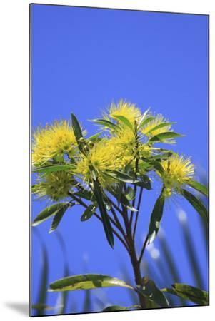 A Bright Yellow Wattle Tree in Suburban Cairns, Queensland, Australia-Paul Dymond-Mounted Photographic Print