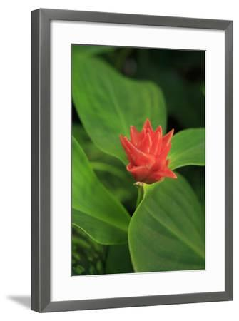 A Bright Red Ginger Flower on Display, Cairns, Queensland, Australia-Paul Dymond-Framed Photographic Print