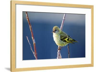 A Pine Sisken, Male-Richard Wright-Framed Photographic Print
