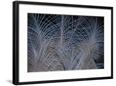 Crown Feathers of the Crowned Pigeon-Darrell Gulin-Framed Photographic Print