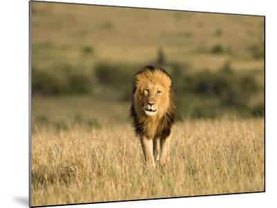 Africa, Kenya, Masai Mara Game Reserve. Male Lion Walking in Dry Grass-Jaynes Gallery-Mounted Photographic Print