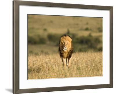 Africa, Kenya, Masai Mara Game Reserve. Male Lion Walking in Dry Grass-Jaynes Gallery-Framed Photographic Print