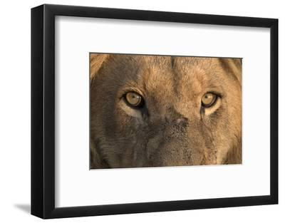 Africa, Namibia. Male Lion, Namibia-Jaynes Gallery-Framed Photographic Print