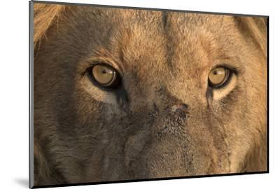 Africa, Namibia. Male Lion, Namibia-Jaynes Gallery-Mounted Photographic Print