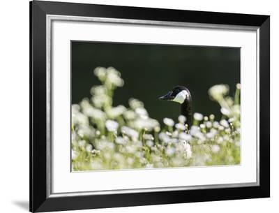 Canada Goose. Europe, Germany, Bavaria-Martin Zwick-Framed Photographic Print