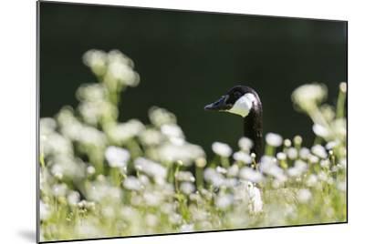 Canada Goose. Europe, Germany, Bavaria-Martin Zwick-Mounted Photographic Print
