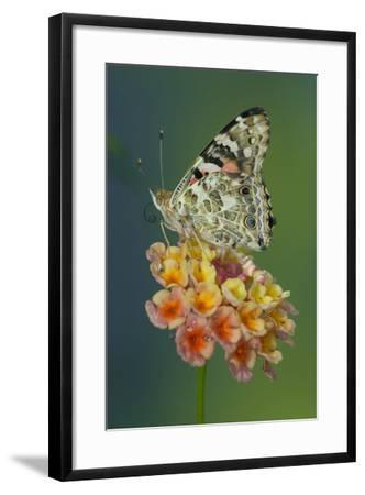 American Painted Lady Butterfly-Darrell Gulin-Framed Photographic Print