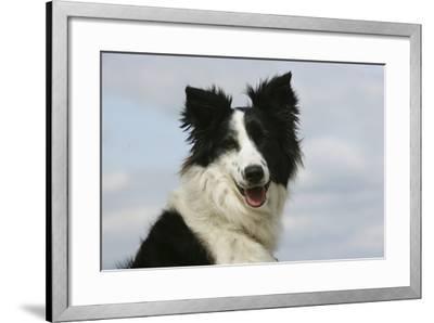 Border Collie 46-Bob Langrish-Framed Photographic Print