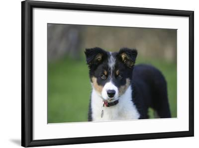 Border Collie 43-Bob Langrish-Framed Photographic Print
