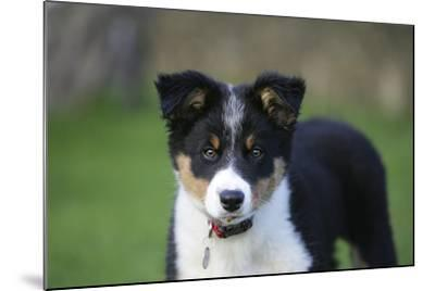 Border Collie 43-Bob Langrish-Mounted Photographic Print