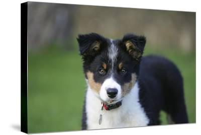 Border Collie 43-Bob Langrish-Stretched Canvas Print
