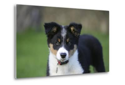 Border Collie 43-Bob Langrish-Metal Print