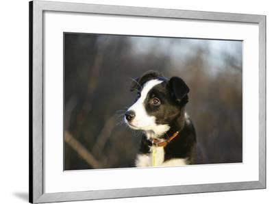 Border Collie 73-Bob Langrish-Framed Photographic Print
