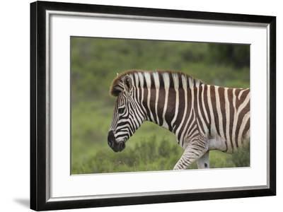 African Zebras 025-Bob Langrish-Framed Photographic Print