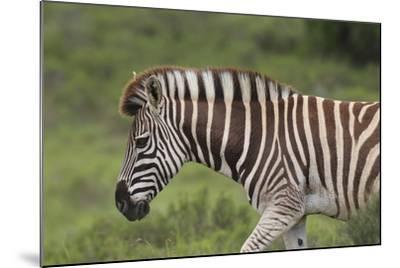 African Zebras 025-Bob Langrish-Mounted Photographic Print